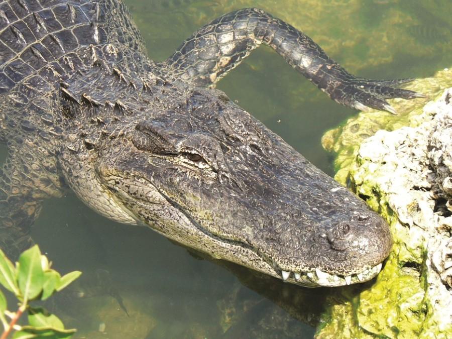 Gator close