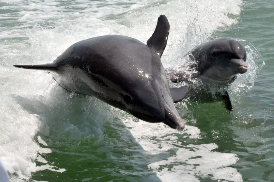 Dolphin mother and baby