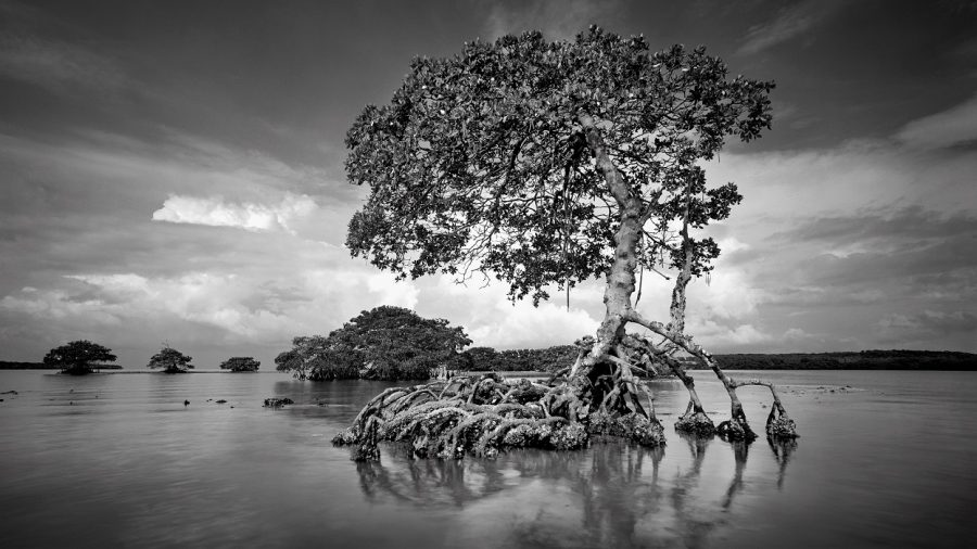 Ten Thousand Islands, Florida  I had seen this old mangrove, which survived Hurricane Donna in the 1960's, several times while taking photographs in the Ten Thousand Islands. It expresses the lonely, primeval feeling that I love to experience in the wilderness. I had been stuck by this mangrove's sculptural beautfy before, but the light had not be right for me to take a photograph. Finally, one summer morning, everything came together and I was able to take this photograph. Unfortuanely, when Hurricane Andrew hit south Florida in 1992, this mangrove was distroyed.
