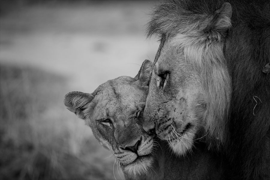 Norman Carr Safaris - Lions