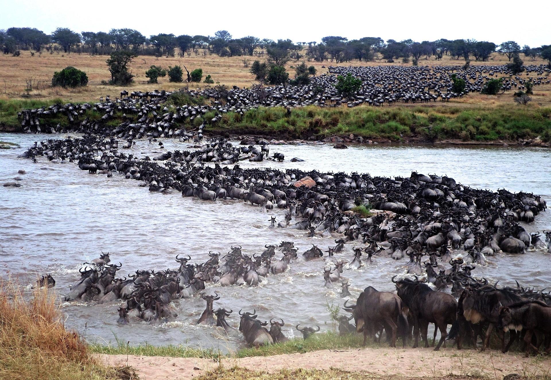 Die Wanderung nach Instinkt statt GPS Warum die Tiere der Serengeti sich zurecht auf sich selbst verlassen