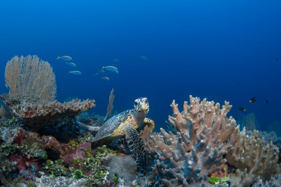 six-senses-laamu-underwater-Turtle